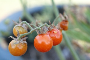 Texas Wild Hunt County Tomato